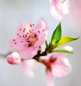 歌曲桃花朵朵开