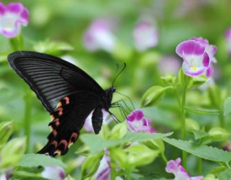 蝴蝶飞呀歌曲